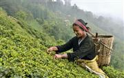 茶葉を摘むバンダナ・ライヤさん=インド・ダージリン(共同)