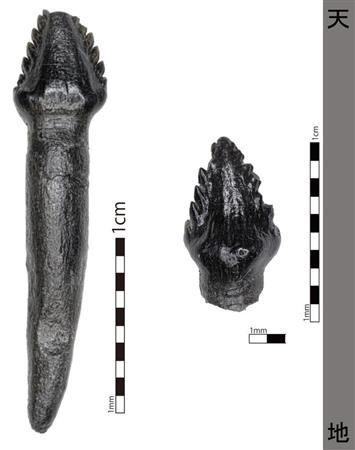 国内最古のよろい竜の歯の化石発見 ノドサウルス 福井 - SankeiBiz ...